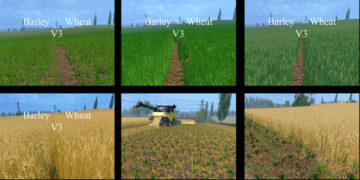 Weizen Textur von Gerste und Raps V 4 Mod (1)